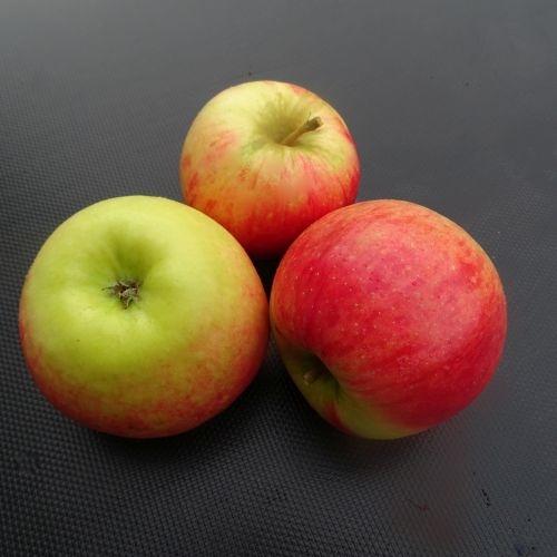 Appelboom  'Ecolette'