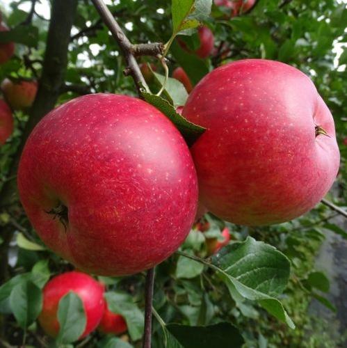 Apple 'Santana'