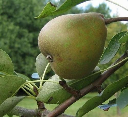 Pear 'Jut'