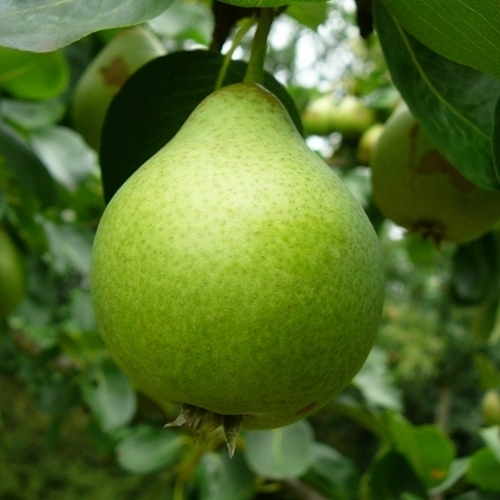 Perenboom  'Noordholl. Suikerpeer'