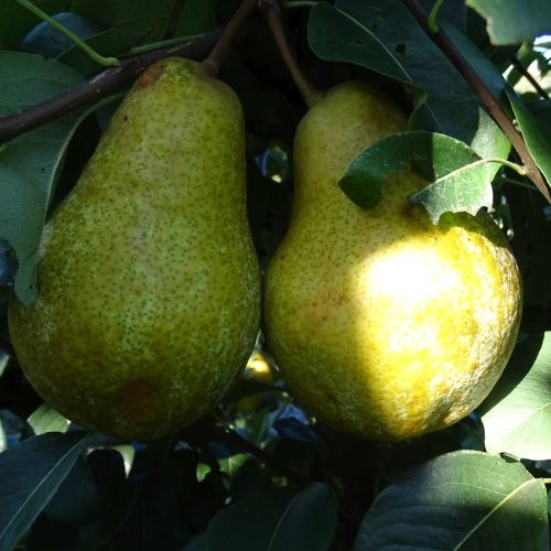 Pear 'Winterrietpeer'