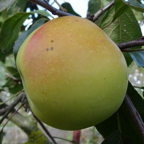 Apple  'Edelborsdorfer'
