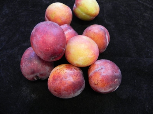 Pflaumenbaum  'Opal'