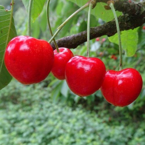 Cherry 'Stella'