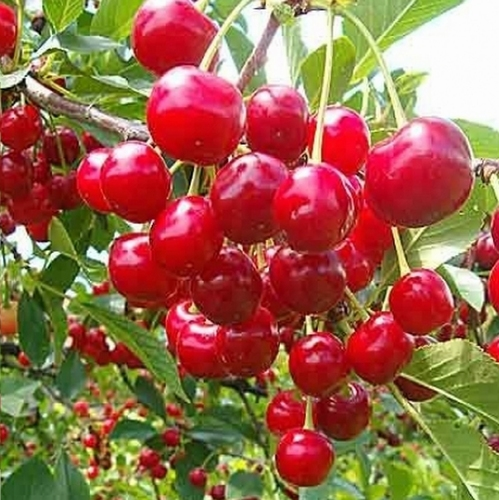 Kersenboom  'Kelleriis 16' (Morellenfeuer)'