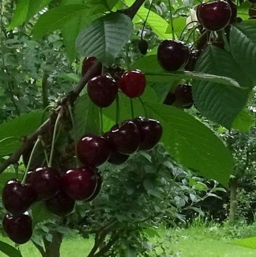 Kersenboom  'Safir'