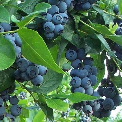 Blueberry 'Northland'