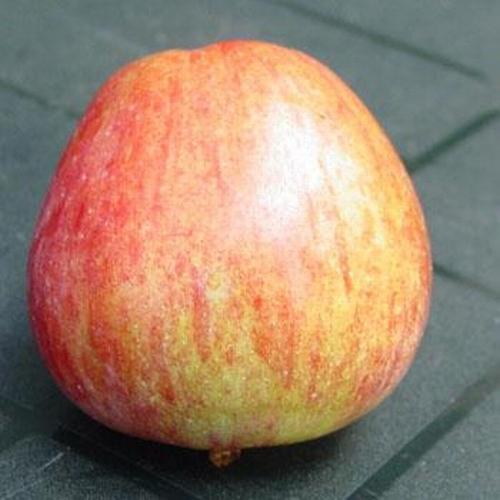Apple 'Frau Halle'