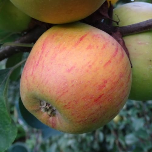 Apple 'Golden Permain'