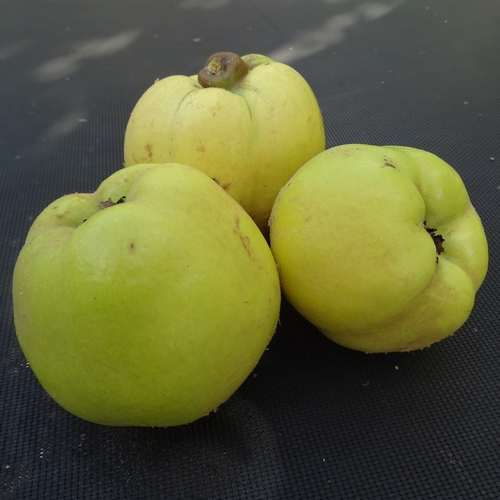Quince 'Leskovacka'