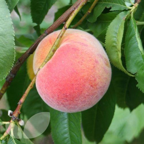 Peach 'Pergegrine'