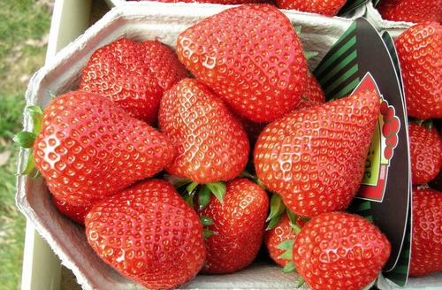 Aardbeienplanten  'Elianny'