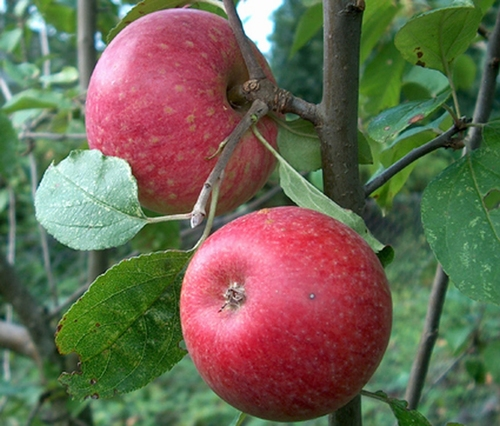 Apple 'Starapple'