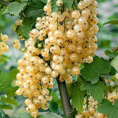 White currant 'White Pearl'