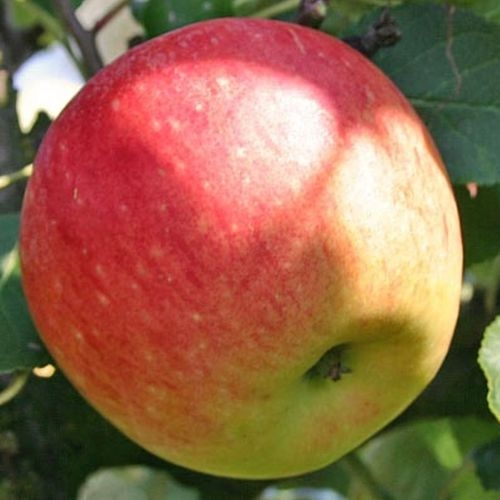 Appelboom  'James Grieve'