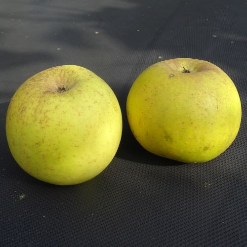Apfelbaum  'Luntersche Pippeling'