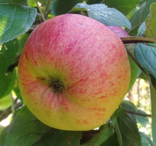 Apple 'Brabant Bellefleur'