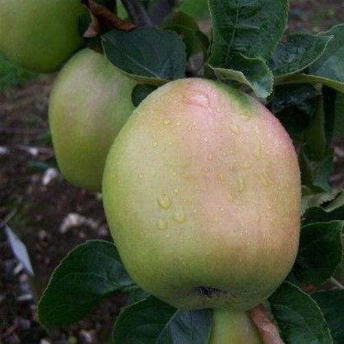 Apfelbaum  'Schafsnase'