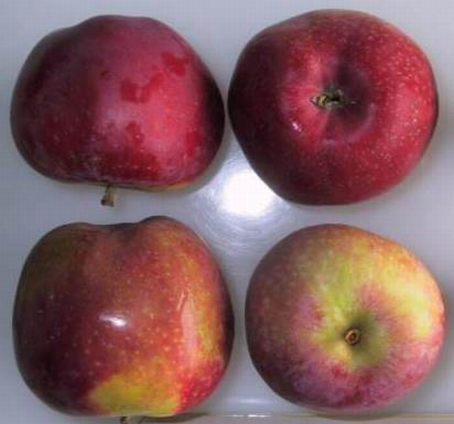Apple 'Roter Astrachan'