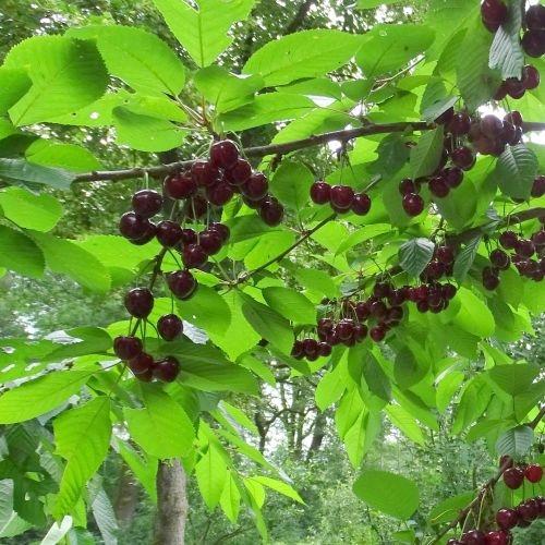 Kersenboom  'Schwäbische Weinweichsel'