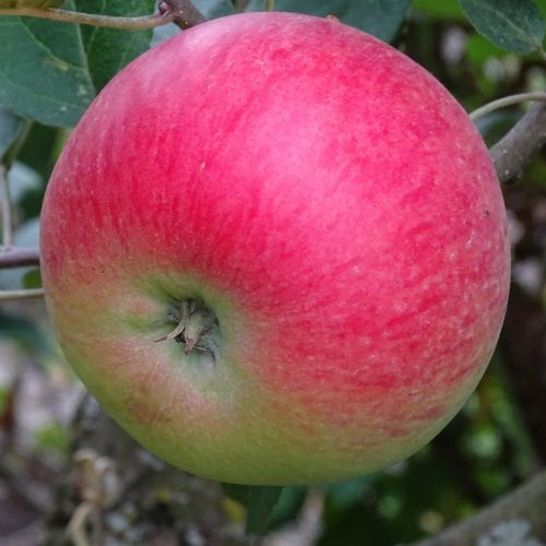 Appelboom  'Discovery'