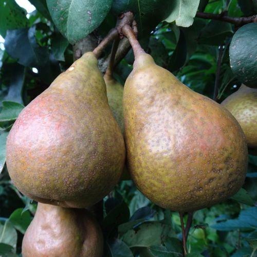Pear 'Tongeren'