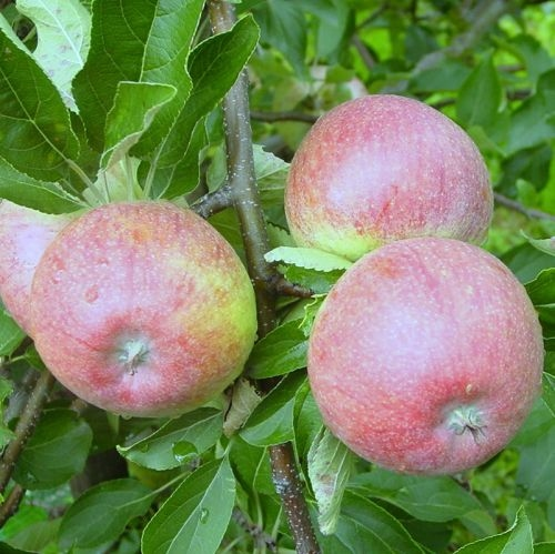 Appelboom  'Roter Munsterlander'