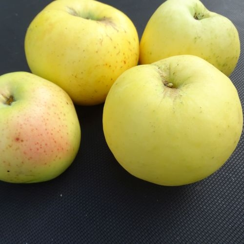 Apfelbaum  'Antonowka'