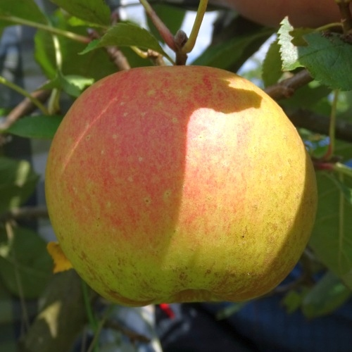 Appelboom  'Karmijn de Sonnaville'