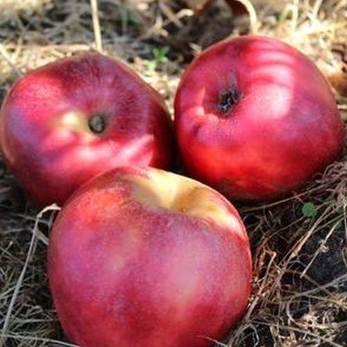 Appelboom  'Rode Gravensteiner'