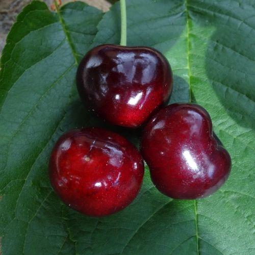 Cherry  'Techlovan'