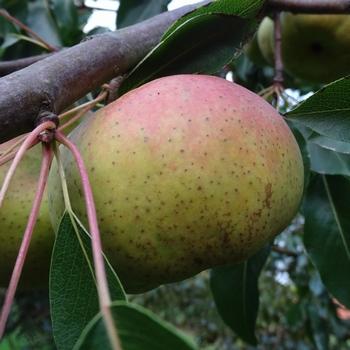 Perenboom  'Oranjepeer'