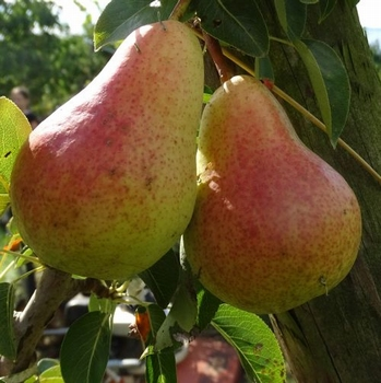 Pear 'Williams Bon Chrétien'