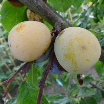 Pruimenboom  'Dubbele Boerenwitte'