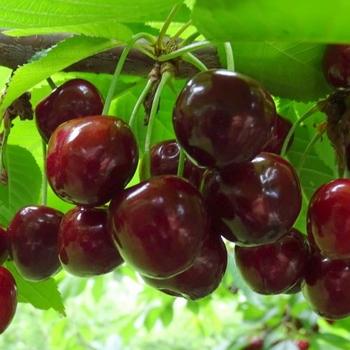 Cherry 'Bigarreau Burlat'