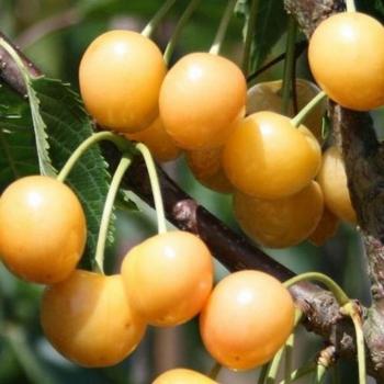 Cerisier 'Dönische. Gelbe Knorpelkirsche'