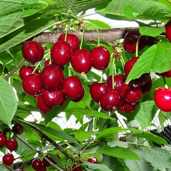Cherry 'Schneid. Späte Knorpel.'
