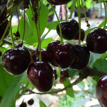 Cherry 'Varikse Zwarte'