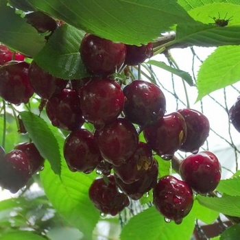 Cherry 'Viola'