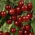 Acid Cherry '(Reinische Schatten) Morel'