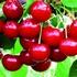 Acid Cherry 'Karneol'