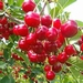 Cerisier 'Kelleris 16 (Morellenfeuer)'