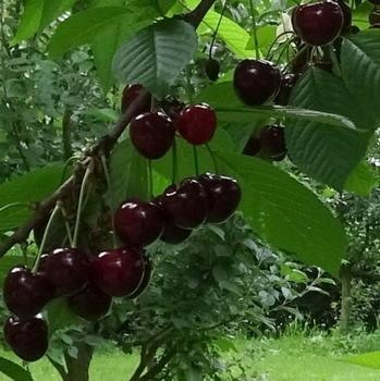 Acid Cherry 'Safir'