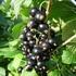 Black currant 'Titania'