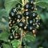 Black currant 'Ben Sarek'