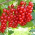 Red currant 'Jonkheer van Tets'