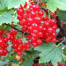 Red currant 'Rolan'