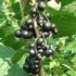 Black currant 'Josta'