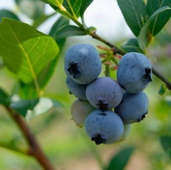 Myrtilliers 'Brigitta Blue'