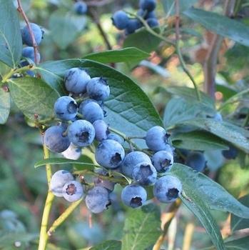 Myrtilliers 'Sunshine Blue'